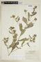 Sida poeppigiana (K. Schum.) Fryxell, ECUADOR, F