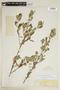 Sida poeppigiana (K. Schum.) Fryxell, COLOMBIA, F