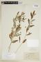 Sida rhombifolia L., BRITISH GUIANA [Guyana], F