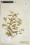Sida rhombifolia L., SURINAME, F