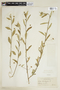 Sida rhombifolia L., BOLIVIA, F