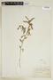 Sida rhombifolia L., F
