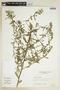Sida rhombifolia L., BRAZIL, F