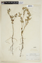 Sida rhombifolia L., PERU, F