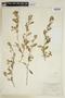 Sida rhombifolia L., PARAGUAY, F
