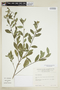 Sida rhombifolia L., ECUADOR, F