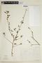 Sida rhombifolia L., ARGENTINA, F