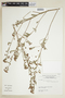 Sida rhombifolia L., URUGUAY, F