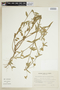 Sida salviifolia image