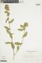 Sida variegata (Griseb.) Krapov., BOLIVIA, F