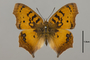 124374 Catacroptera cloanthe d IN