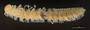 1041 Cylindrogonus copiosus HT V IN z6 2x 125zoom L49