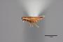 2819452 Trichopsenius xenoflavipes HT p IN