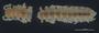 1048 Cyclopsodesmus scaurus HT D IN cf3 p1 hf12