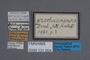 131004 Oxytelus szechuanensis ST labels IN