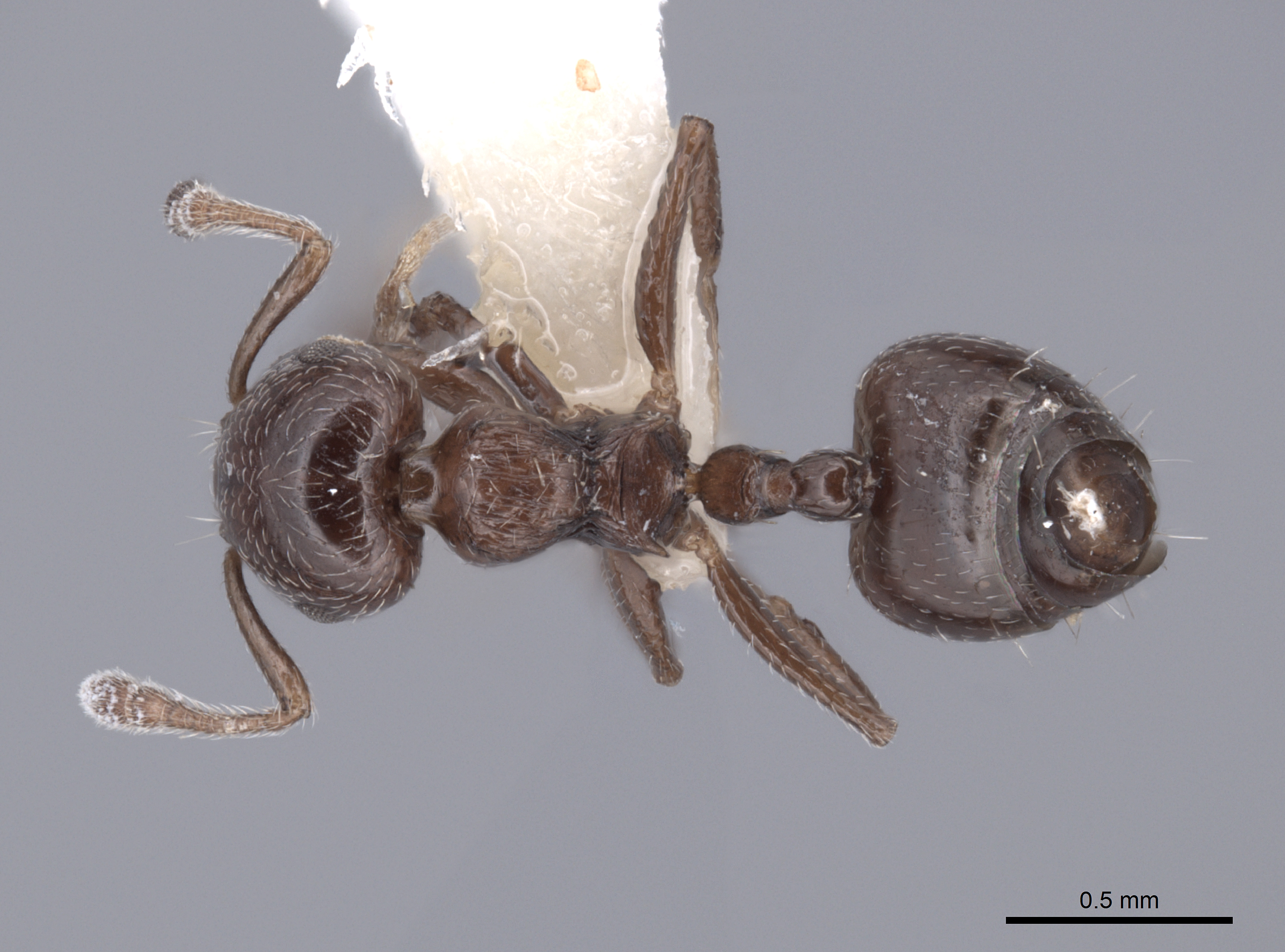 Image of Crematogaster erecta