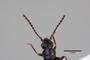 2819469 Ancyrophorus championi LT antenna IN