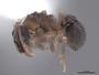 46091 Cyphomyrmex rimosus P IN