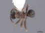 46091 Cyphomyrmex rimosus D IN