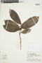 Laetia ovalifolia J. F. Macbr., PERU, F
