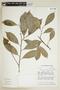 Casearia bahiensis Sleumer, BRAZIL, F