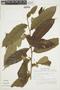 Casearia pitumba Sleumer, SURINAME, F