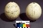 187991: ostrich egg shell