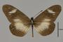 124165 Acraea esebria d IN