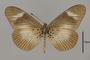 124165 Acraea esebria v IN