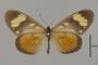124166 Actinote thalia anteas d IN