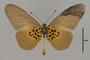 124179 Acraea vestalis v IN