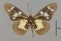 124198 Acraea oreas angolanus v IN