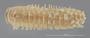 2034 Rhysodesmus marcosus HT D IN n60 hf21