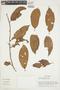 Iryanthera laevis Markgr., BRAZIL, F