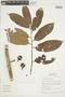 Iryanthera laevis Markgr., BOLIVIA, F