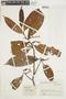 Iryanthera ulei Warb., COLOMBIA, F