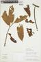Iryanthera ulei Warb., PERU, F