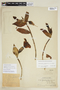 Symbolanthus mathewsii (Ewan) Gilg, PERU, F