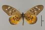 124212 Acraea pharsalus d IN
