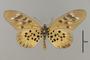 124212 Acraea pharsalus v INtif