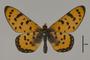 124214 Acraea violarum d IN