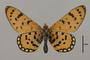 124214 Acraea violarum v IN