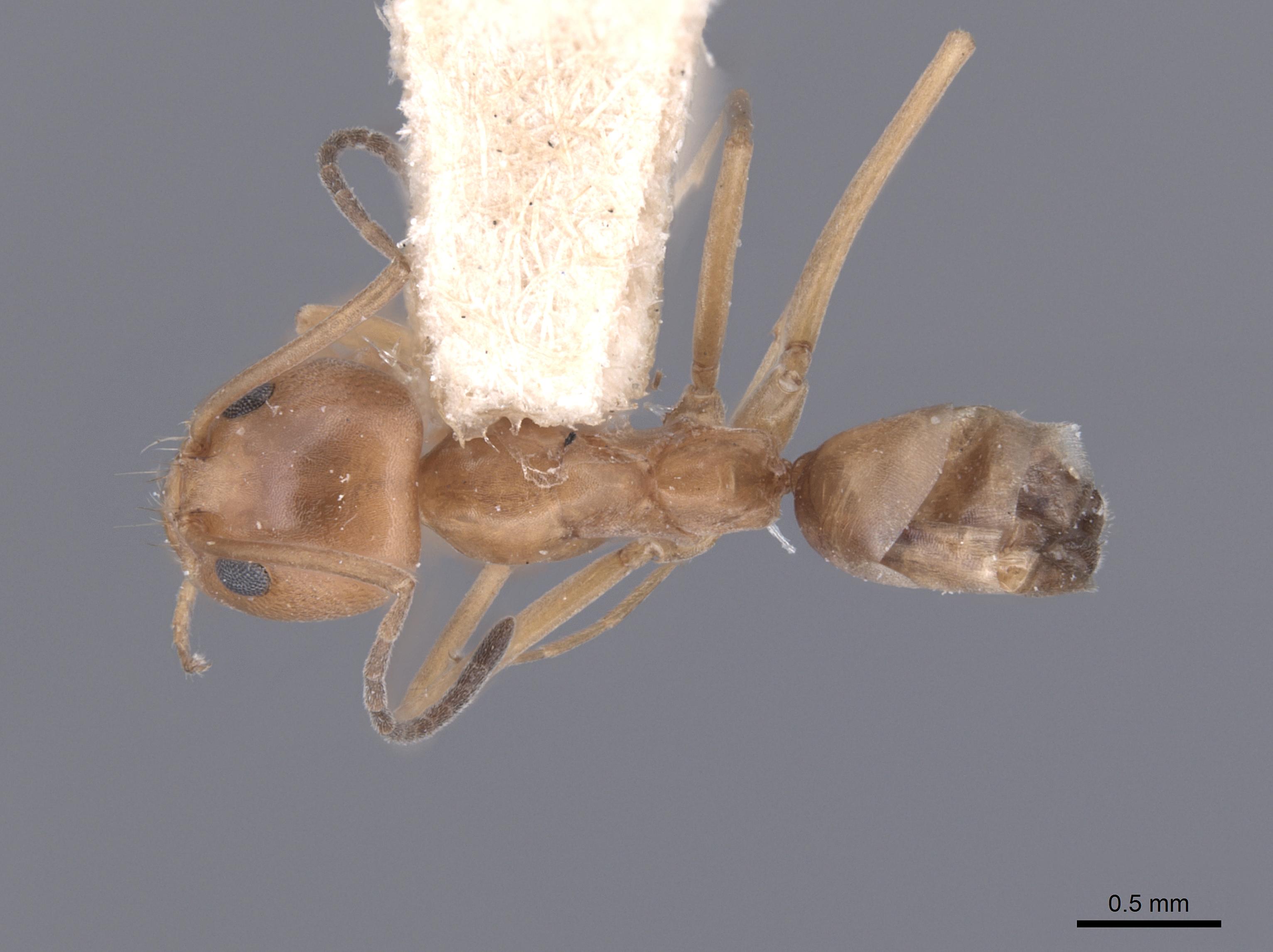 Image of Dorymyrmex flavus