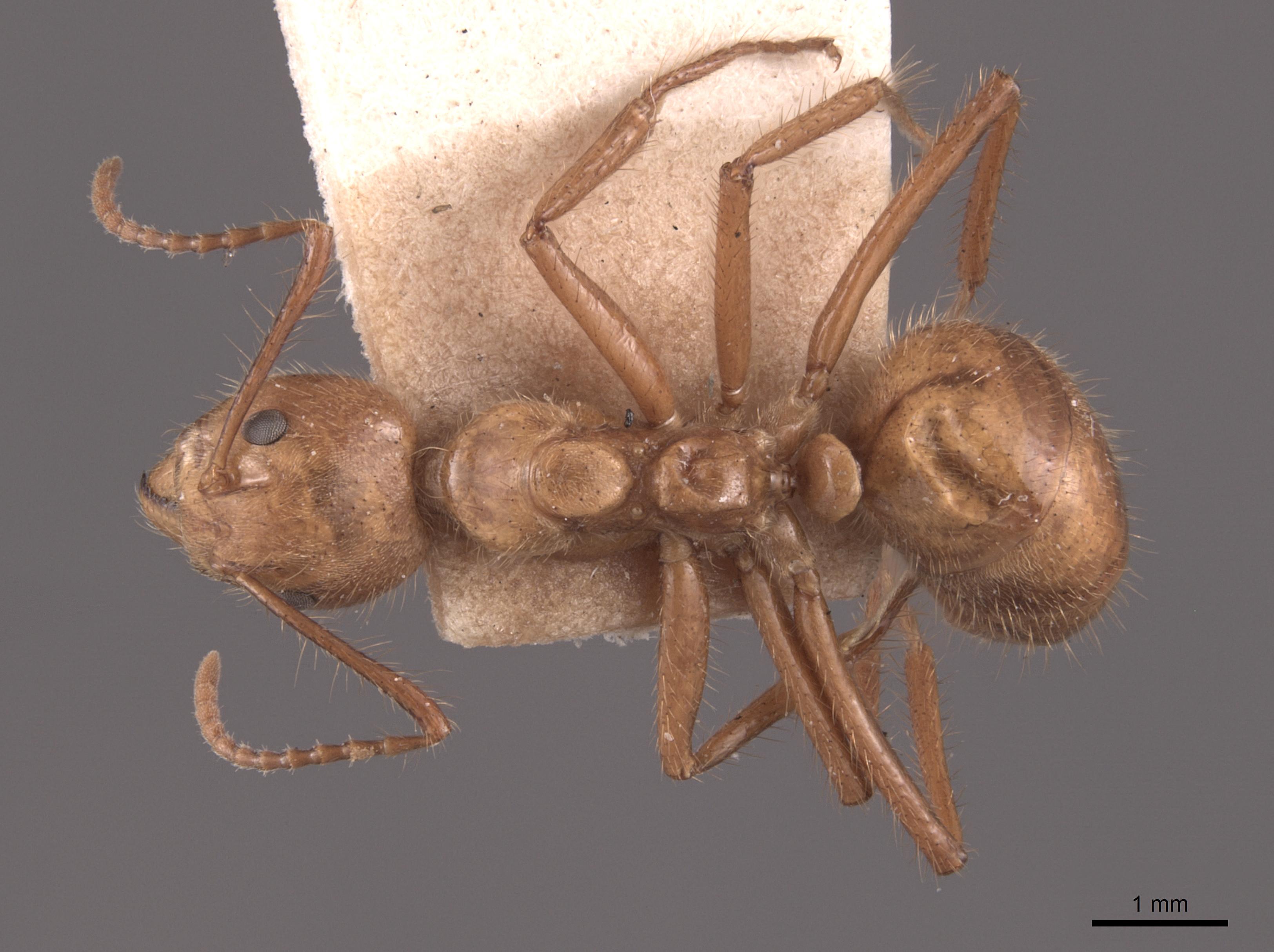 Image of Dolichoderus abruptus
