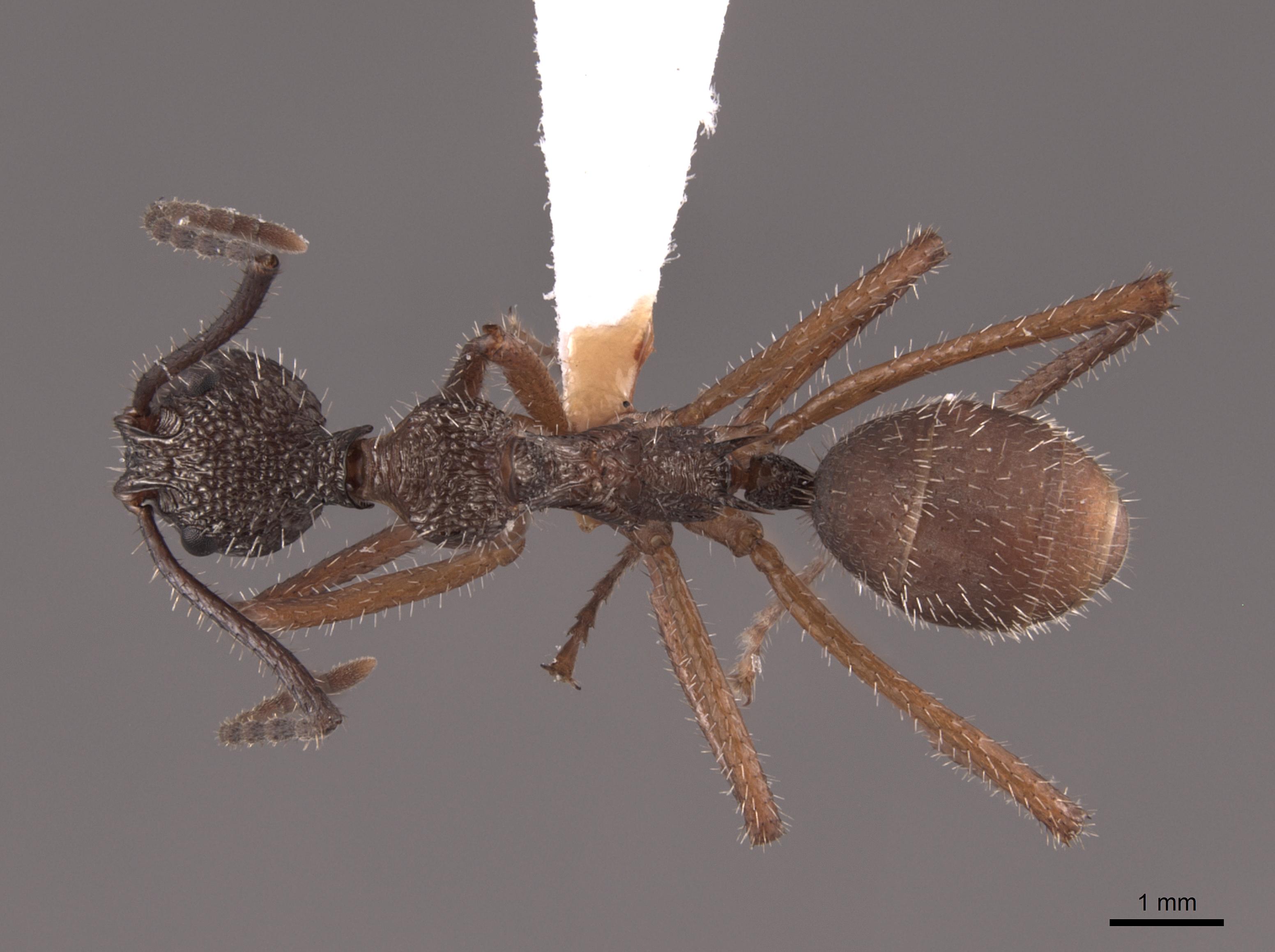Image of Dolichoderus attelaboides