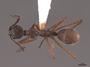 62236 Dolichoderus attelaboides D IN