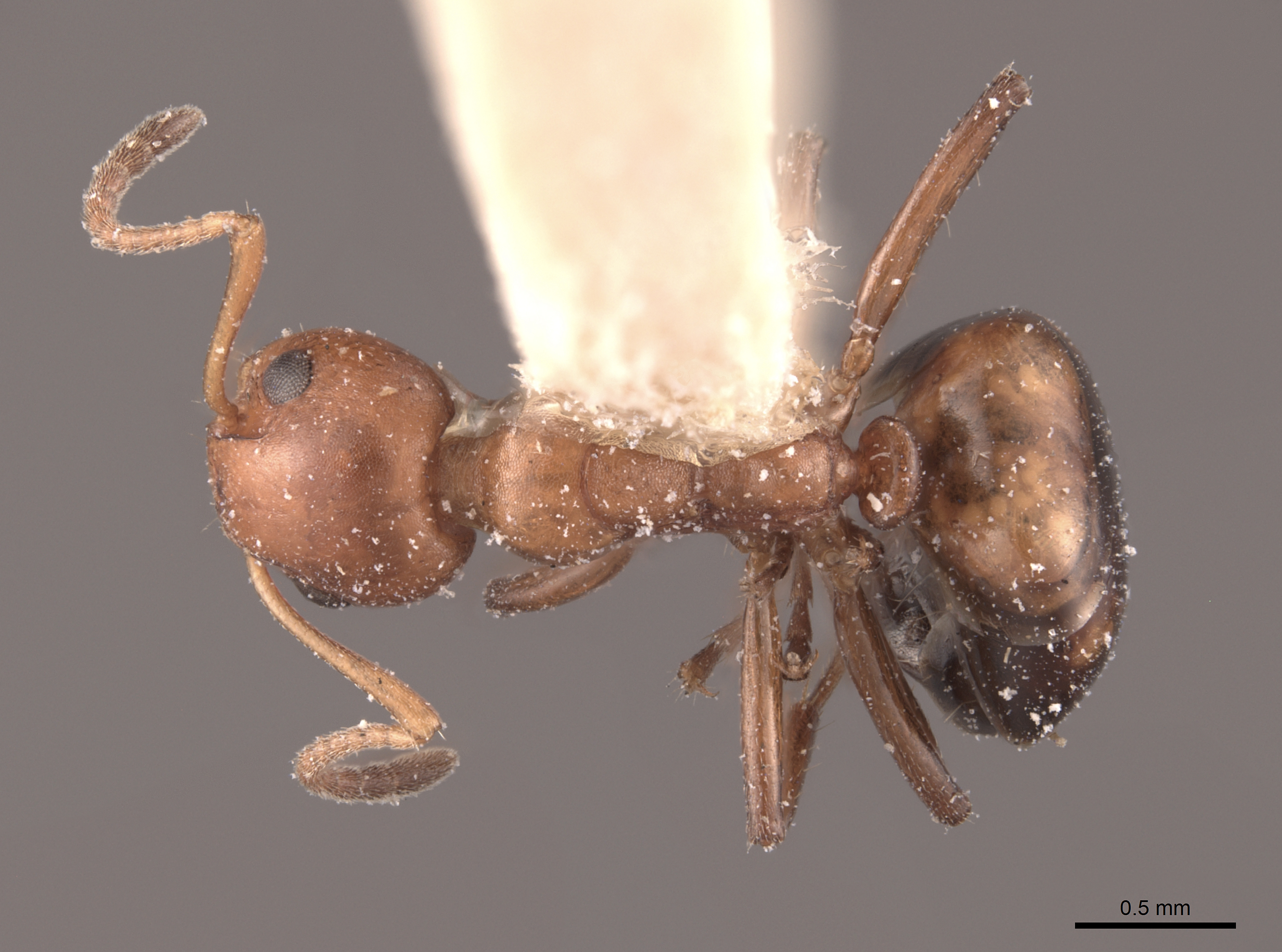 Image of Dolichoderus mariae