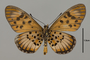 124223 Acraea petraea v IN