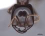 45250 Dorylus gribodoi H IN