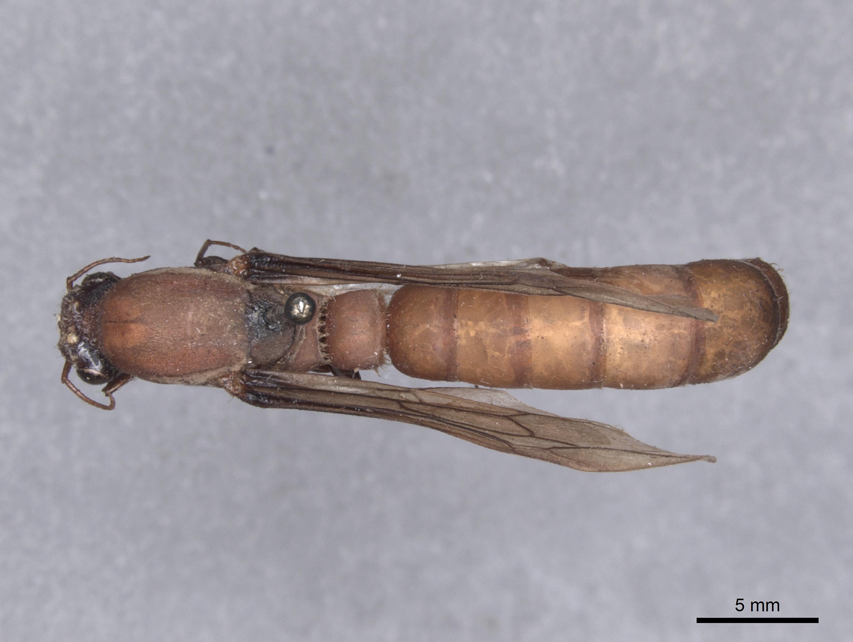 Image of Dorylus labiatus